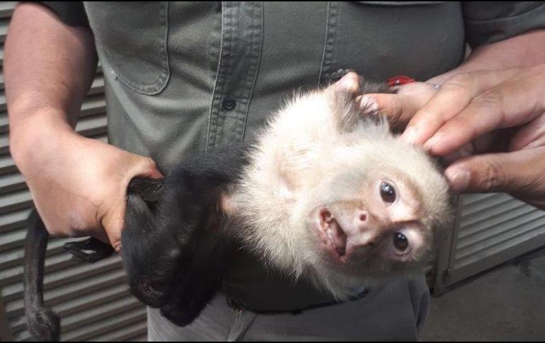 Capturan al mono capuchino perdido en Las Lomas de CDMX